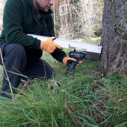 Arboriicultural consultant using decay detection equipment on rare species tree